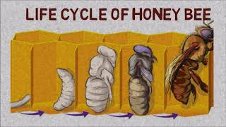 Honey Bee Complete life cycle  |