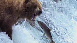 Grizzly Bears Catching Salmon | Natures Great Events | BBC
