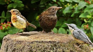 Woodland Birds in July - Feeding on Suet Pellets (Peanut and Cherry)