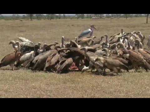 Poisoning wreaks havoc on Kenya's vultures