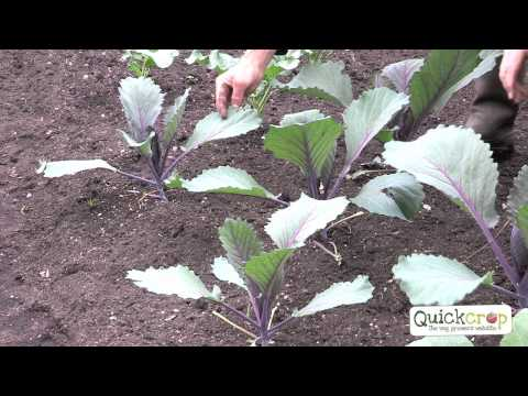, title : 'How to Grow Cabbage - A Step by Step Guide