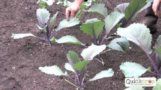 How to Grow Cabbage - A Step by Step Guide