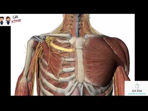 Los movimientos para el aumento del pecho
