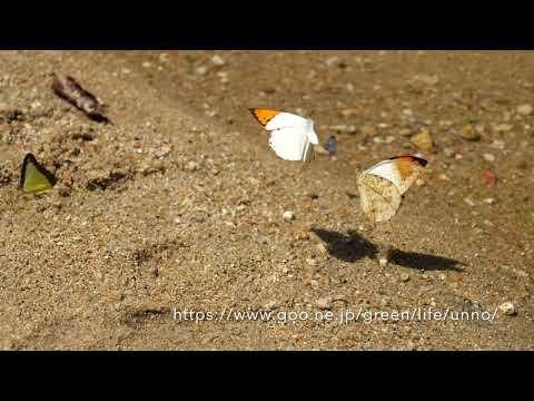 ツマベニチョウの羽の裏面はカムフラージュ