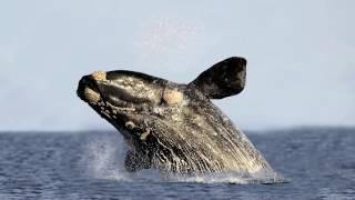 Удивительные факты веры: 11 - Гренландский (полярный) кит