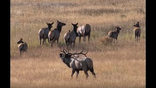 ELK BUGLING IN ROCKY MOUNTAIN NATIONAL PARK HD - Wildlife Photography/Estes Park/Tetons/Jackson Hole