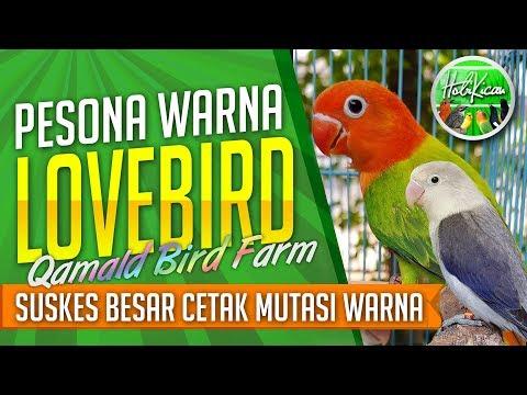 mp4 Lovebird Biola Facebook, download Lovebird Biola Facebook video klip Lovebird Biola Facebook