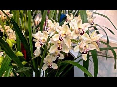 ЦИМБИДИУМ - неприхотливая орхидея для начинающих. Уход в домашних условиях