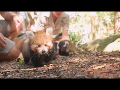Red Panda Triplets are a Handful
