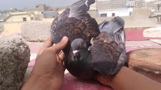 Karachi Pigeons Channel videos