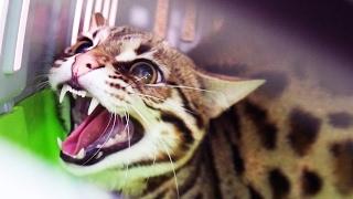 НОВЫЙ ЗЛОБНЫЙ ДИКИЙ КОТ. Отдали бенгальского кота F1 / ANGRY WILD CAT. We were given a Bengal cat F1