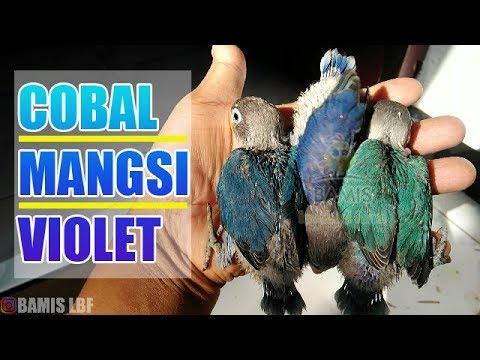 mp4 Lovebird Violet Tokopedia, download Lovebird Violet Tokopedia video klip Lovebird Violet Tokopedia