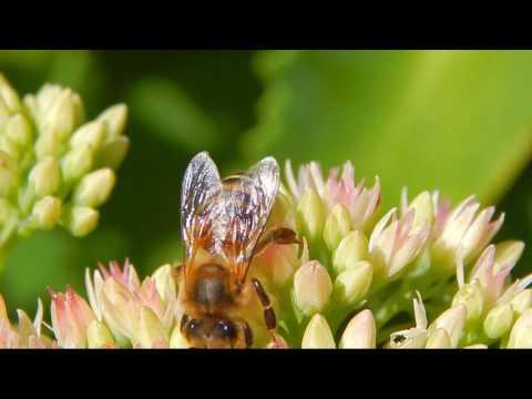 Pszczoły i trzmiele