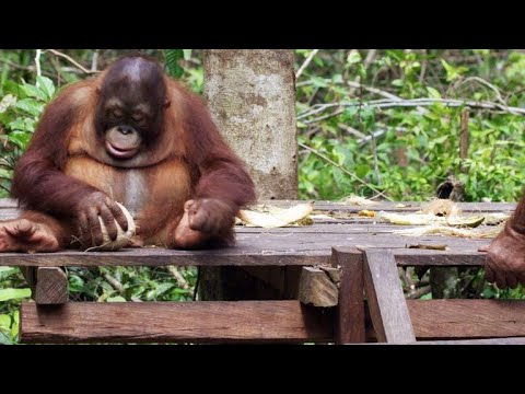 Adorable Baby Orphan Orangutans Learn to Crack Open Coconuts