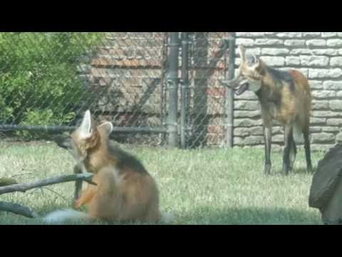 Our New Maned Wolves