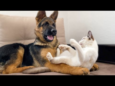 German Shepherd Puppy Playing With Kitty