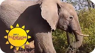 ELEFANTEN in NAMIBIA   SAT.1 Frühstücksfernsehen   TV