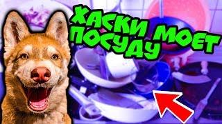 ХАСКИ МОЕТ ПОСУДУ! (Хаски Бублик) Говорящая собака