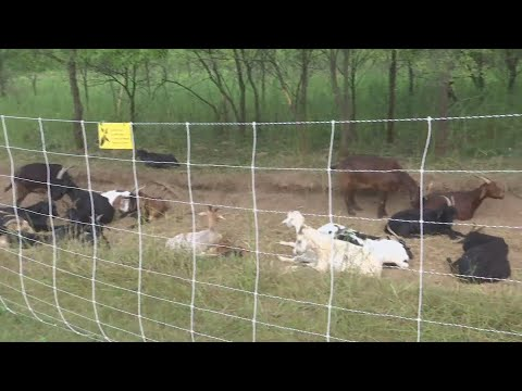 Welty Environmental Center hires goats to help restoration project
