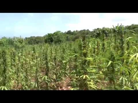 Gigantic Ganja Field in Jamaica - Blueberry Skunk