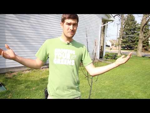 Why Did My Pear Tree Die? Troubleshooting Guide
