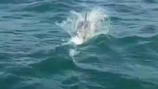 Дельфин и камбала в море Сочи