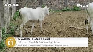 19 BEZERROS NELORE