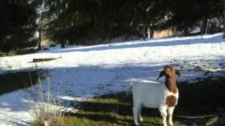Die süßen Früchte hängen hoch, auch für Ziegen! – Bodensee – Rorschach - Schweiz