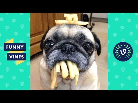 Adorable Pug Compilation - Cute Dog Videos | Funny Vines