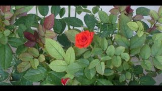How To Grow English Roses By Cutting