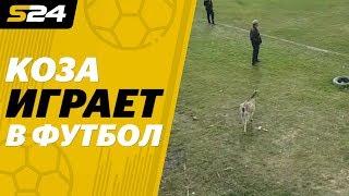 Коза поддержала атаку и отпраздновала гол в матче чемпионата Молдавии | Sport24