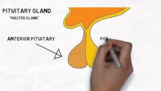2-Minute Neuroscience: Hypothalamus & Pituitary Gland