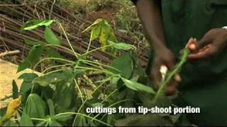 preview picture of video 'Rapid multiplication of cassava: Part 1 of 2'