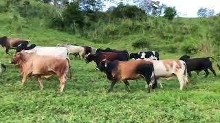 Bovino Corte Mestiço Garrote 11-15@ - e-rural Imagens