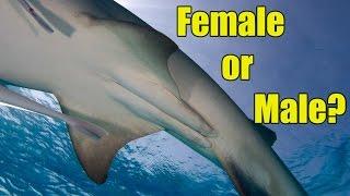Shark - Gender