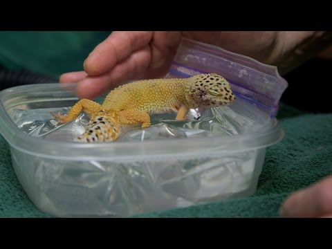 After Surgery, This Tiny Gecko Nestles Up on a Tiny Waterbed