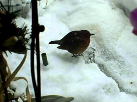 Drinkende vogel in de tuin in Cuijk