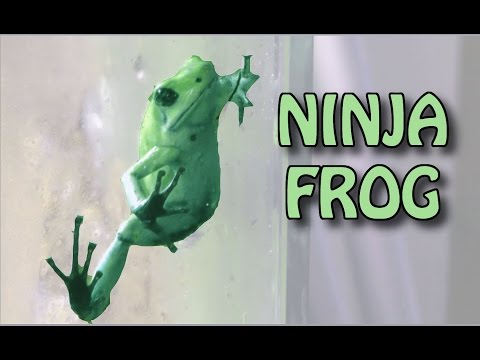 NINJA FROG - Phyllobates Terribilis 'mint'