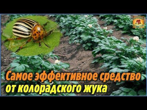 Самое эффективное народное средство от колорадского жука. Дачные советы огородникам