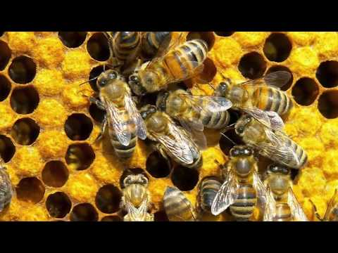 Пчелиный подмор настойка спиртовая при гипертонии
