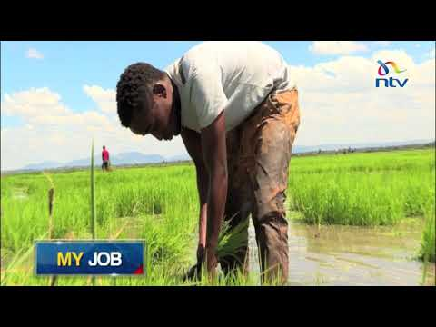 My Job: 24-year-old James Murimi makes a living out of rice farming