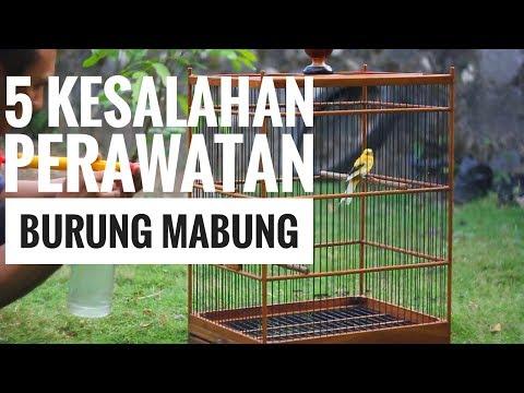 Video 5 KESALAHAN PERAWATAN SAAT BURUNG KENARI MABUNG & SOLUSINYA