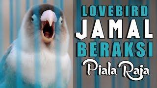 PIALA RAJA : Bikin Onar Lovebird JAMAL  KERJA RODI Dari BEKASI Ke YOGYAKARTA SEPANJANG CIPALI
