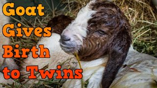 Goat Giving Birth to Twins