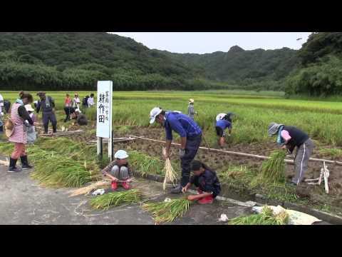 種子島の学校活動:茎南小学校もち米稲刈り体験