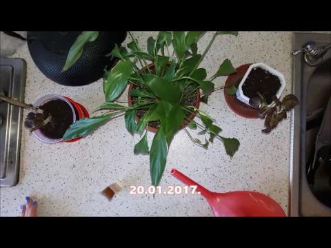 Эксперимент Биогумус. Удобряем комнатные растения водным растворм.