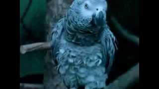 Perroquet chanteur...italien !