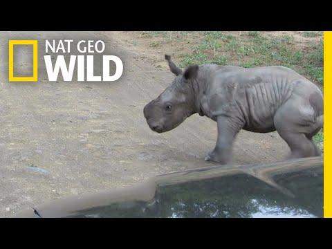 Combat épique de mâles rhinocéros blancs !