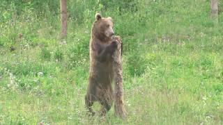 Wild bear on two legs