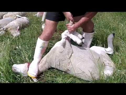 , title : 'How to skin a sheep, Front legs up(inverted)